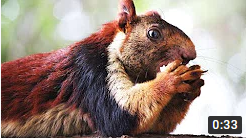 Indian giant squirrel with dazzling, multicolored fur is the flashiest animal in the forest